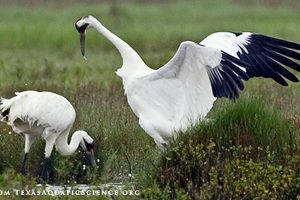 Whooping crane from Texasaquaticscience.org